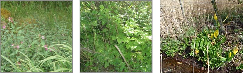 invasive plants2