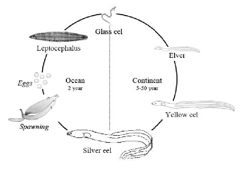 European Eel Lifecycle
